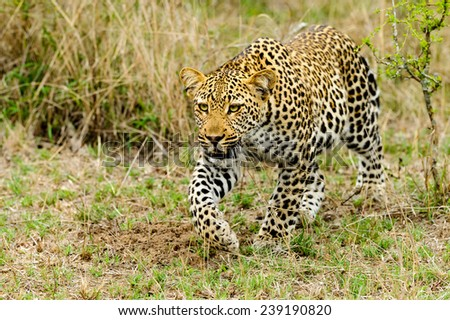 Leopard stalking in the grass