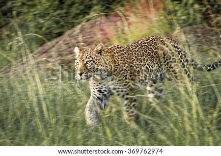 Leopard stalking prey in grass, Masai Mara,Kenya - stock photo