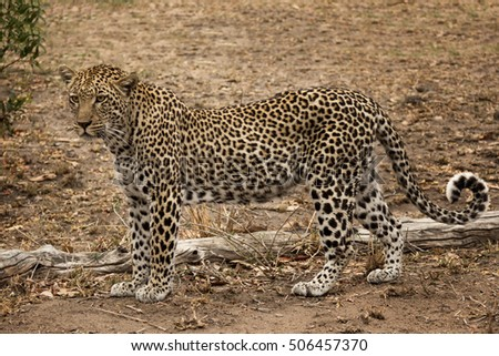 Leopard Standing (Panthera pardus) - Sabi Sands Game Reserve, South Africa