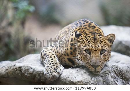 Leopard (Tiger) deep sleep on the rock. - stock photo