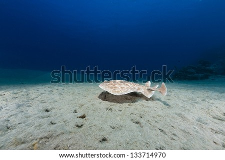 Leopard torpedo ray in the Red Sea. - stock photo