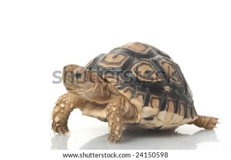 Leopard Tortoise (Geochelone pardalis) isolated on white background. - stock photo