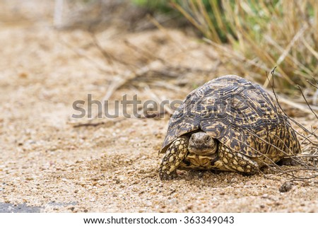 Leopard tortoise in Kruger national park, South Africa ; Specie Stigmochelys pardalis family of Testudinidae