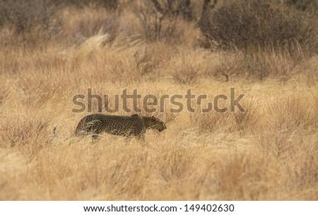 Leopard walking in yellow grass - stock photo