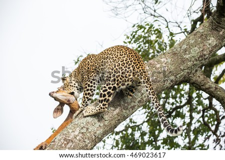 Leopard with a killed antelope after a hunt