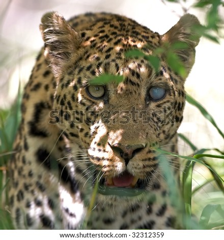 Leopard with blind eye - stock photo