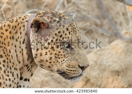 Leopard with bloody ear in Okonjima Nature Reserve, Namibia. Shallow depth of field. - stock photo