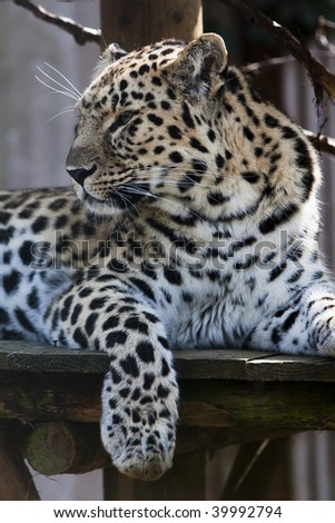 Leopard with paw hanging looking left