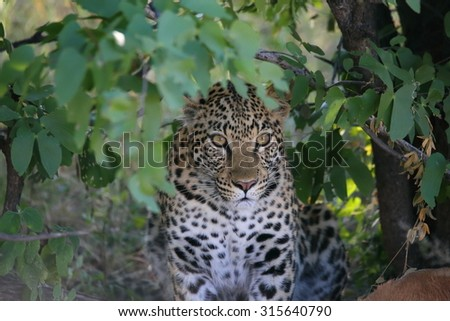 leopard young between leaves - stock photo