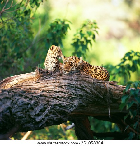 leopards  - stock photo