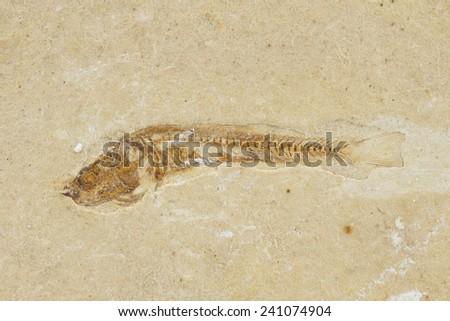 leptolepis brasiliensis, prehistoric fossil fish enclosed in stone