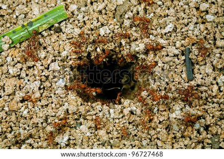 Leraf cutting ants (Atta sp.) coming out of a hole in the ground - stock photo