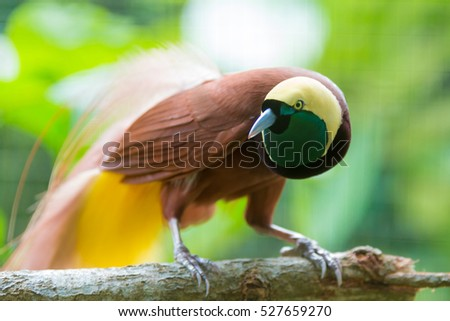 Endangered species stock images royalty free images vectors lesser bird of paradise or paradisaea minor one of the most exotic birds in papua sciox Images