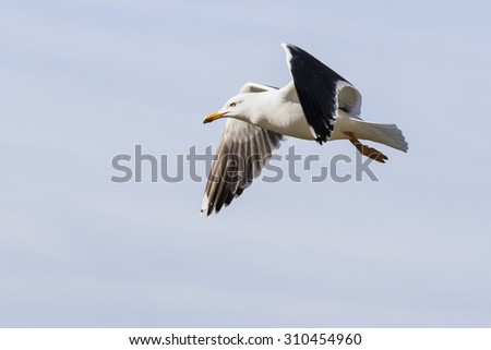 Lesser Black-Backed Gull in flight. A Lesser Black-Backed Gull is seen flying past the camera. - stock photo