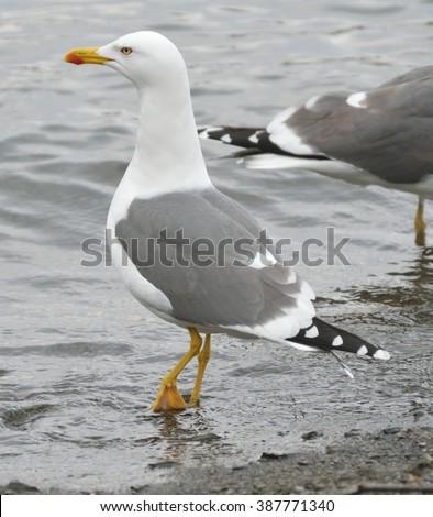 Lesser black backed gull Larus fuscus - stock photo