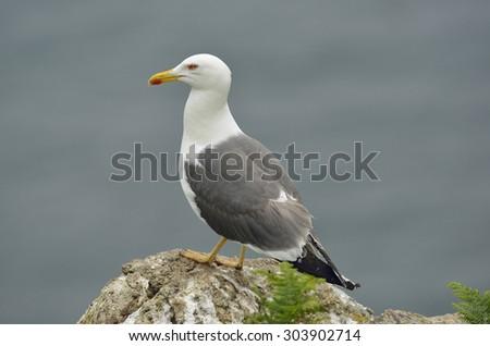 Lesser Black-backed Gull - Larus fuscuson rock against sea - stock photo