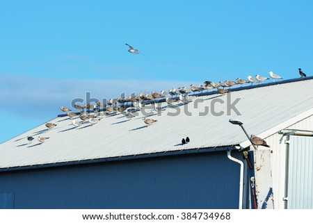 Lesser black-backed gull (Larus fuscus) on the rooftop of a metal storage building. Both young and mature birds are gathered. - stock photo