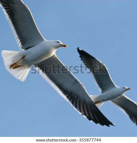 Lesser Black-backed Gulls, Larus fuscus in flight - stock photo