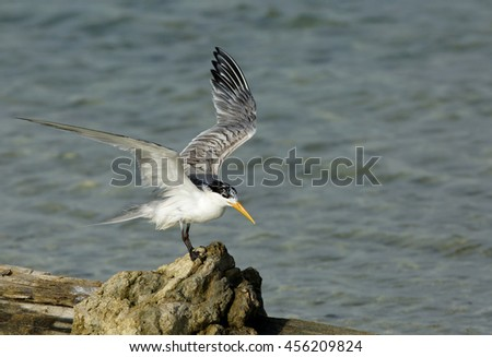 Lesser crested tern drying its wings