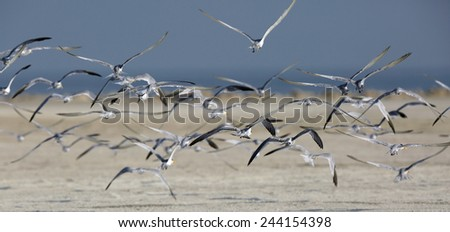 Lesser crested terns in flight