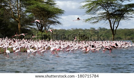 Lesser Flamingos on the land stretching in the lake - stock photo