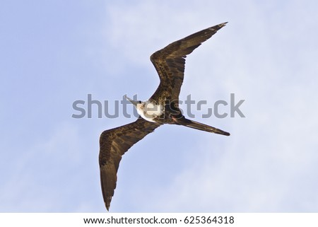 Lesser frigatebird(Fregata ariel)in the tropical zone of the Atlantic
