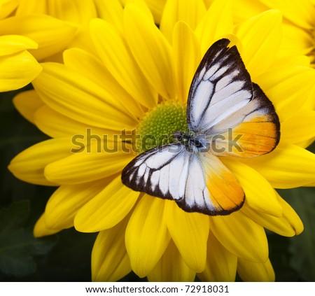 Lesser Gull Butterfly on Yellow Chrysanthemum - stock photo