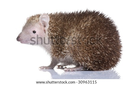 Lesser Hedgehog Tenrec , Echinops telfairi in front of a white background, It is endemic to Madagascar. - stock photo