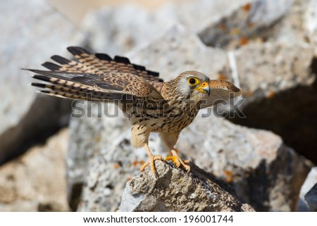 Lesser Kestrel (Falco naumanni) female