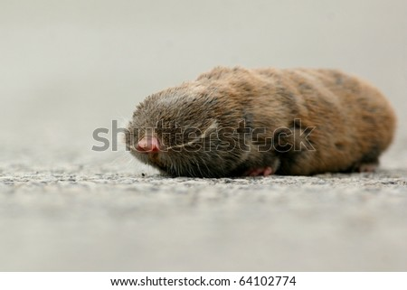Lesser Mole Rat on the road