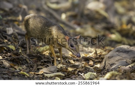 Lesser Mouse Deer (Tragulus kanchil) - stock photo