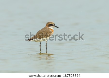 Lesser Sand Plover (Charadrius mongolus) in nature of Thailand - stock photo