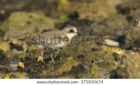 Lesser sand plover on sea side rocks - stock photo