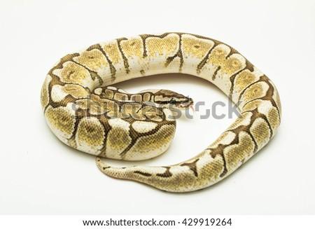 lesser spider ball python on white background - stock photo