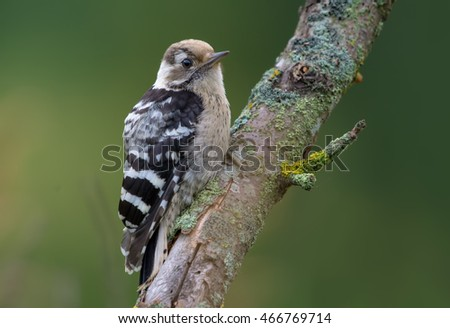 Lesser spotted woodpecker perched in the early morning