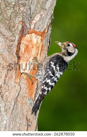 Lesser spotted woodpecker with insect food at the entrance of nesting cavity - stock photo