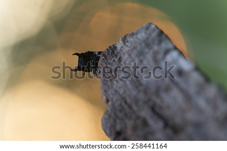 Lesser stag beetle, dorcus parallelipipedus on wood  - stock photo