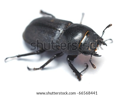Lesser stag beetle on a white background - stock photo