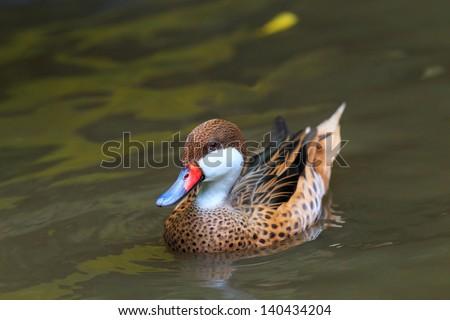 Lesser whistling duck, - stock photo