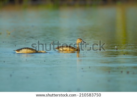 Lesser whistling duck( Dendrocygna javanica) swimming in nature - stock photo