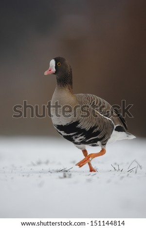 Lesser white-fronted goose, Anser erythropus, a single captive bird standing in snow, Martin Mere, Lancashire, winter 2009