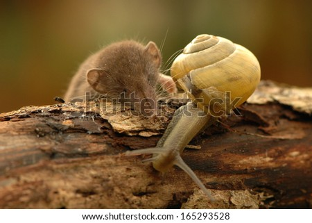 Lesser white-toothed shrew Crocidura suaveolens - stock photo