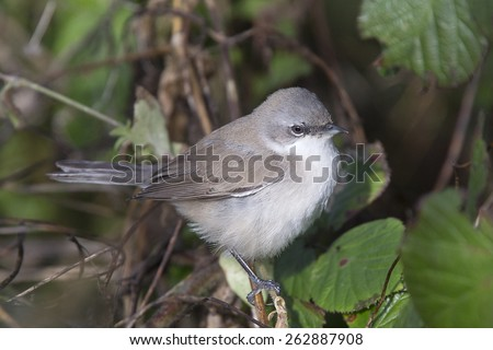 Lesser Whitethroat, eastern subspecies, perched, Stithians Reservoir, Cornwall, England, UK. - stock photo