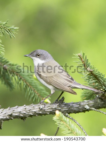 lesser whitethroat in natural habitat - close up /  Sylvia curruca - stock photo