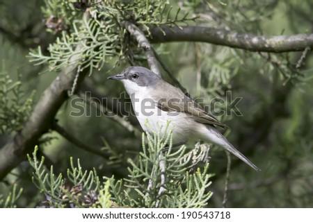 lesser whitethroat in natural habitat - close up /  Sylvia curruca - stock photo