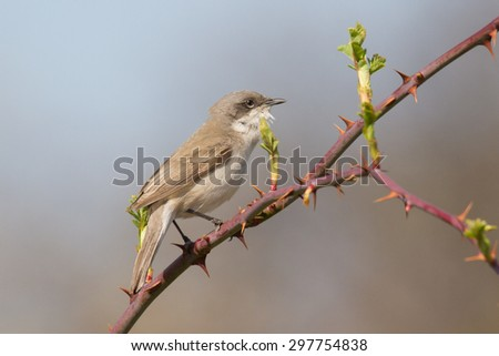 lesser whitethroat on branch with mandrels