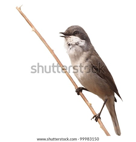 Lesser Whitethroat singing on  branch isolated on white background, Sylvia curruca - stock photo