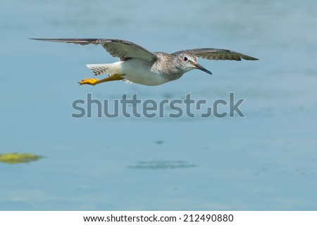 Lesser Yellowlegs flying over the water. - stock photo