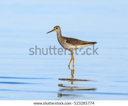 Lesser Yellowlegs with Reflection