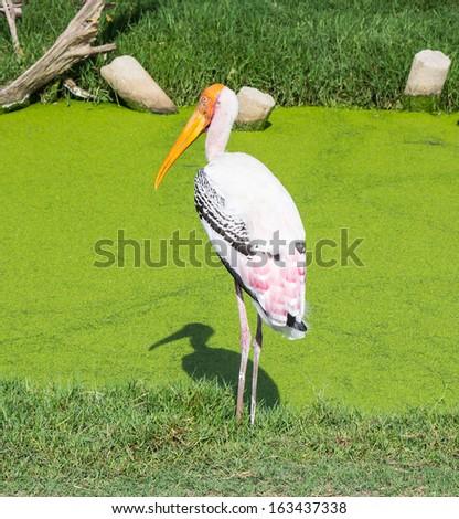 Lessor adjutant stork bird standing on the grass - stock photo